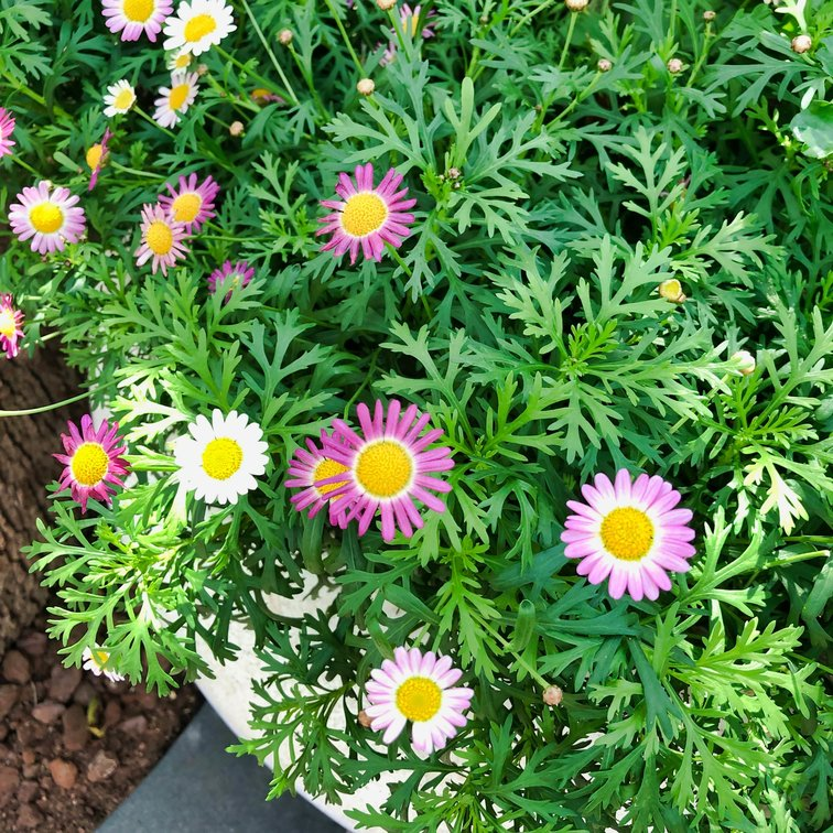Flower Dome Daisy View