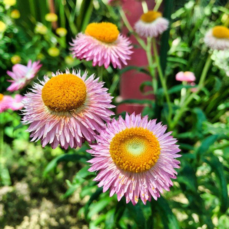 Flower Pink Daisy
